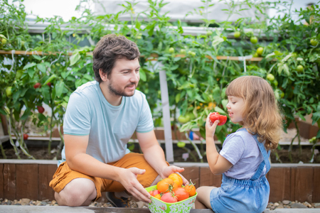 Little girl and her father at the garden, with tomato harvest, eating ripe vegetables and having fun
