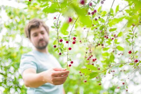 Young man eating fresh ripe cherry berries from the bush at his garden. 版權商用圖片 - 124745955