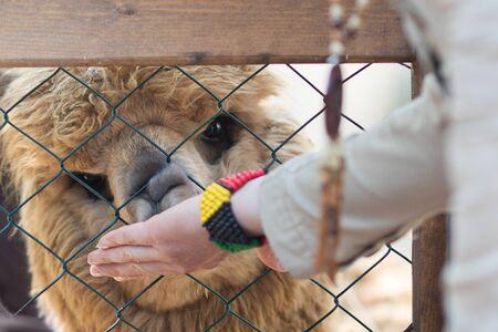 Zoo visitor feeding cute alpaca lama through the fence, close up.