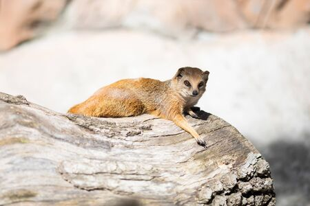 The yellow mongoose (Cynictis penicillata), sometimes referred to as the red meerkat. 版權商用圖片 - 124745892