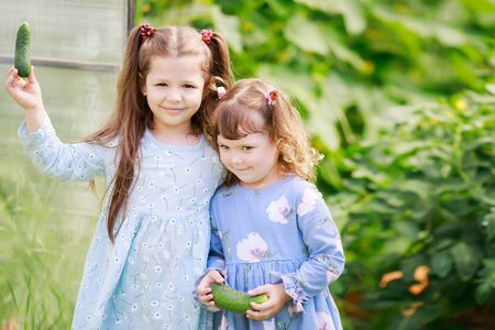 Two little sisters in the greenhouse with harvest of cucumbers, eating fresh ripe vegetables, healthy food.