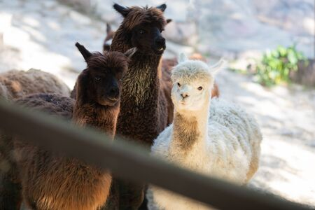 Group of alpaca lamas at the petting zoo over the fense.
