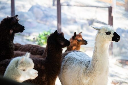 Group of alpaca lamas at the petting zoo over the fense. 版權商用圖片 - 124745900