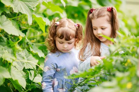 Two adorable little sisters, girls in the greenhouse with tomato and cucumber plants, gardening, discovering nature. 版權商用圖片
