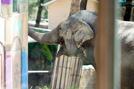 Poor elephant in the zoo over the glass in the small enclosure