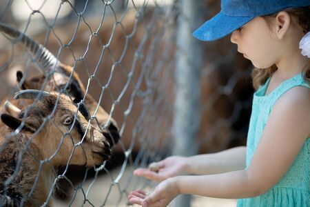 Little girl feeding goats through the fence at the petting zoo, close up.