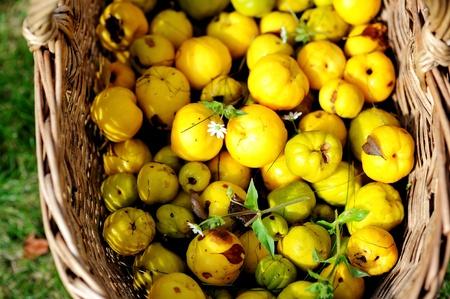 membrillo: Los frutos maduros de Jap�n de membrillo en la cesta de jard�n Foto de archivo