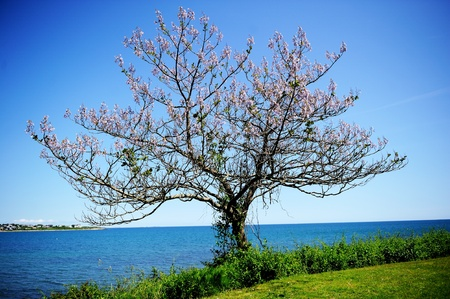 A lone flowering tree on ocean shore photo