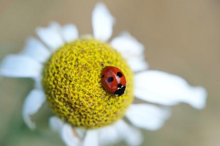 Ladybug sitting on a daisy flower on a summer day, focus on a bug photo