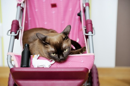 Burmese cat lying sleepy in a baby carriage photo