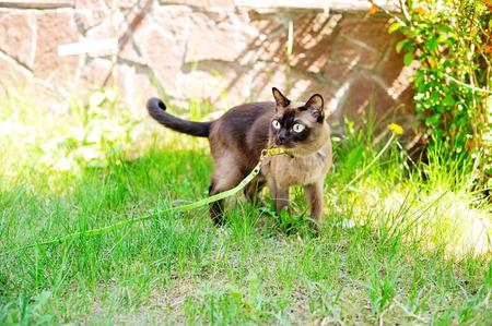Beauty Burmese cat walking outdoors on green meadow photo