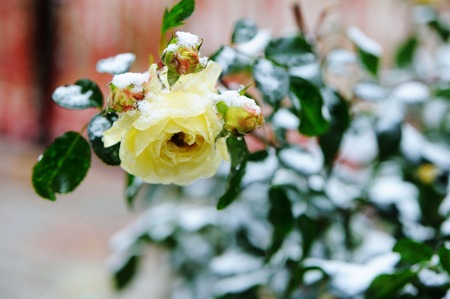 coldly: View of beauty garden rose under the snow