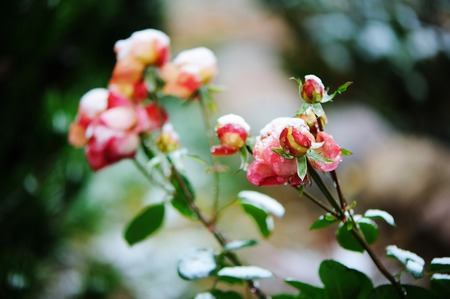 View of beauty garden rose under the snow photo
