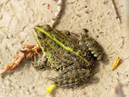 lessonae: Frog rana lessonae on the sand