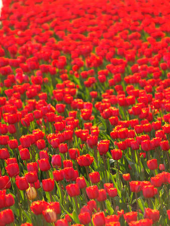 florae: Field of red tulips Stock Photo