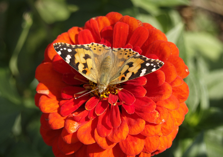spotted flower: Spotted brown butterfly on the red flower