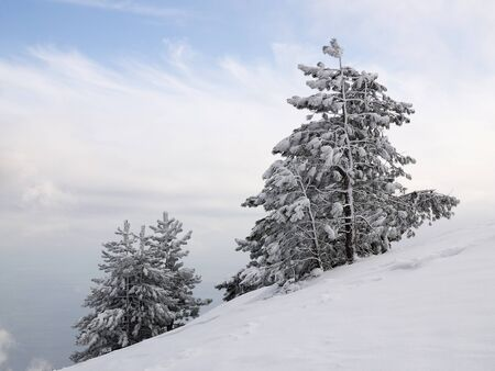 Pines on the snowcovered slope underthe clody blue sky