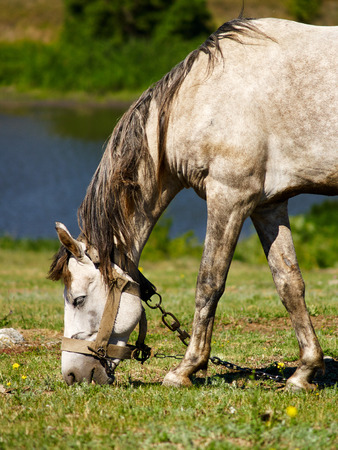 tethered: Tethered pale horse grazing on the meadow