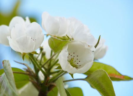 the stamens: Closeup view of burgeons of the pear tree with stamens and petals against the blue sky. Stock Photo