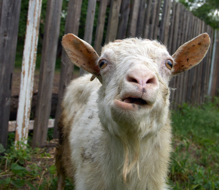 bleating: Bleating white goat with  goatee and funny ears against the old wooden fence