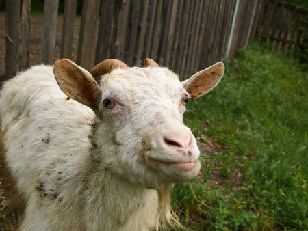 bleating: White dirty staring goat against the old wooden fence