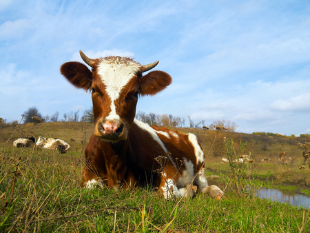 skewbald: Piebald cow laying in the grass on the meadow with many cows and blue sky in background