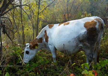 skewbald: Dirty piebald cow grazing in the bush