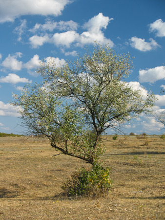 frail: Small lone; tree in the steppe with clouds in the blue sky and the shrub in the background