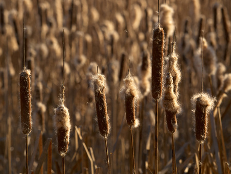Brown fluffy heads of bulrush lit with defocused cane bush on the background