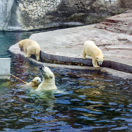 White polar bears playing in the water in the reserve Imagens - 15095431