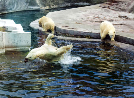White polar bears playing in the water in the reserve Imagens - 15095427