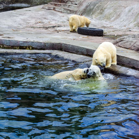 White polar bears playing in the water in the reserve