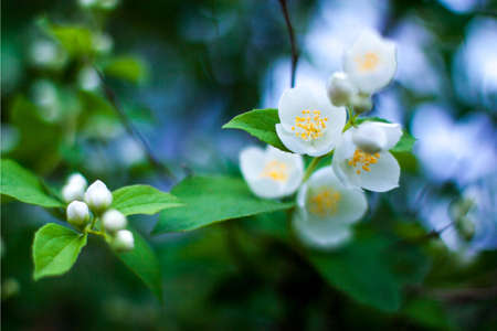 Flowers of the apple blossom   Soft focus  1 4 aperture  Beautiful colors and bokeh Imagens - 20847251