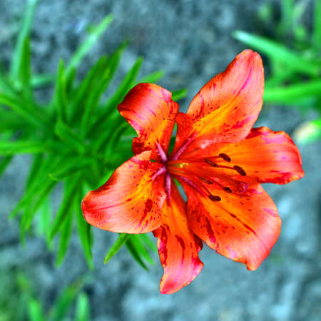 Beautiful orange Tiger Lily flower Imagens - 23329048
