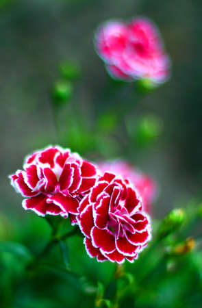 Red-white carnations in the garden  Close up  Beautiful artistic bokeh  The feeling of tenderness  Stock Photo
