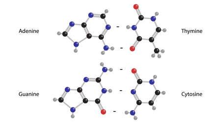 Adenine, guanine, thymine, cytosine molecular structure vector Çizim
