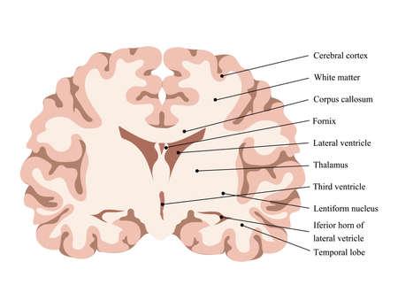 Ilustración de vector de neurociencia. Esquema de la estructura del cerebro humano. Cortar el cerebro. Modelo de lóbulos cerebrales Ilustración de vector