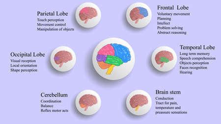Ilustración de vector de lóbulos cerebrales. Vector de infografía de cerebro humano. Funciones de los lóbulos cerebrales