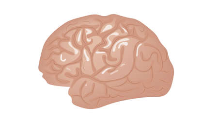 Human brain isolated on white background vector illustration