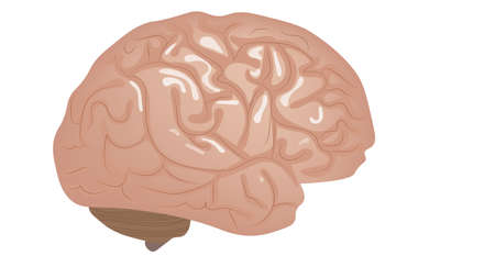 Human brain isolated on white vector illustration