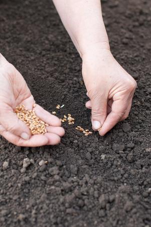 siembra: La siembra de trigo manos en la tierra.