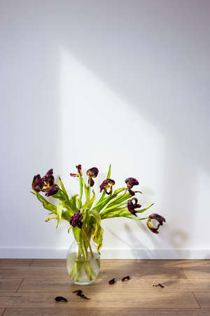 wilted tulips in a white jug on a wooden floor against a white wall. Sunlight from the window. Free space for your text.