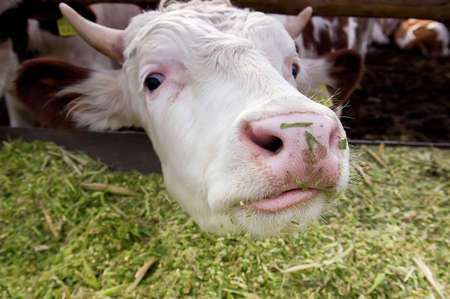 milker: Funny cow looking to a camera. Close-up of a cow s head