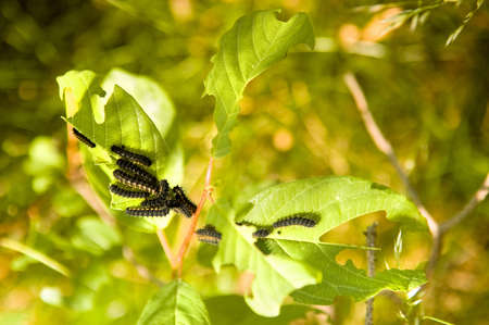 Black caterpillars of butterfly Small Tortoiseshell on a branch with leaves