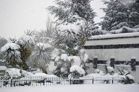 palmtrees: Snowfall in the park. Palm trees under snow in unusually cold weather