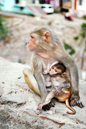 Mother monkey feeds her little cute baby animal near Galta Temple, Galwar Bagh, Monkey Temple in Jaipur, India. The temple is famous for large troop of monkeys who live here. Stock Photo