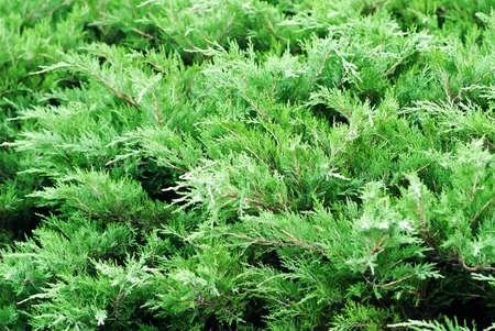 Creeping juniper in the garden background. Green leave texture Stock Photo