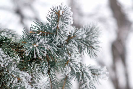 Fir tree branches covered with snow. Christmas and new year background