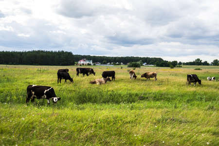 Cows grazing on pasture during the summer