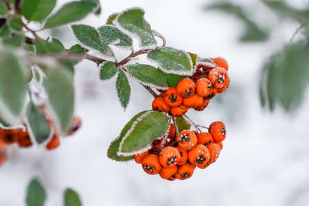 Close up of bunches of rowan berries with ice crystals Stock Photo